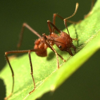 Wildlife/Sophisticated Farms - Leafcutter Ants - leaf